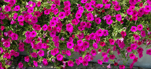 Maine Garden Ideas How To Plant And Grow Petunias Maine Garden