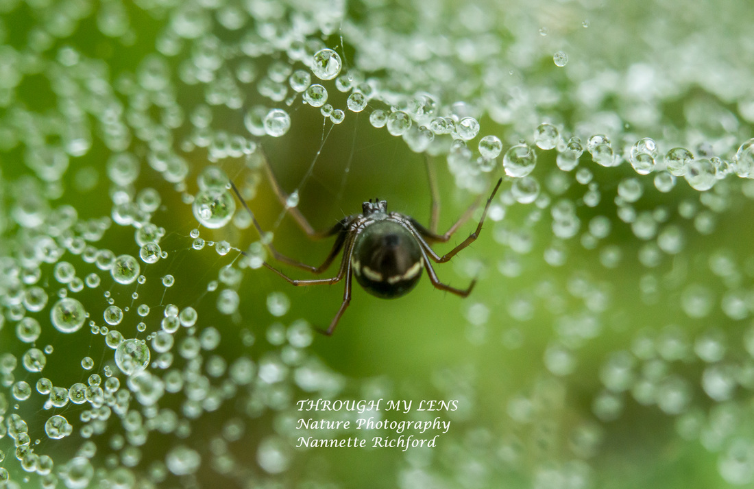 Spider in Web Tunnel with raindrops