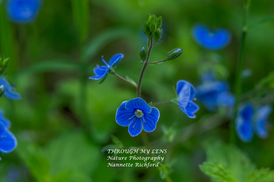 Bird's Eye Speedwell