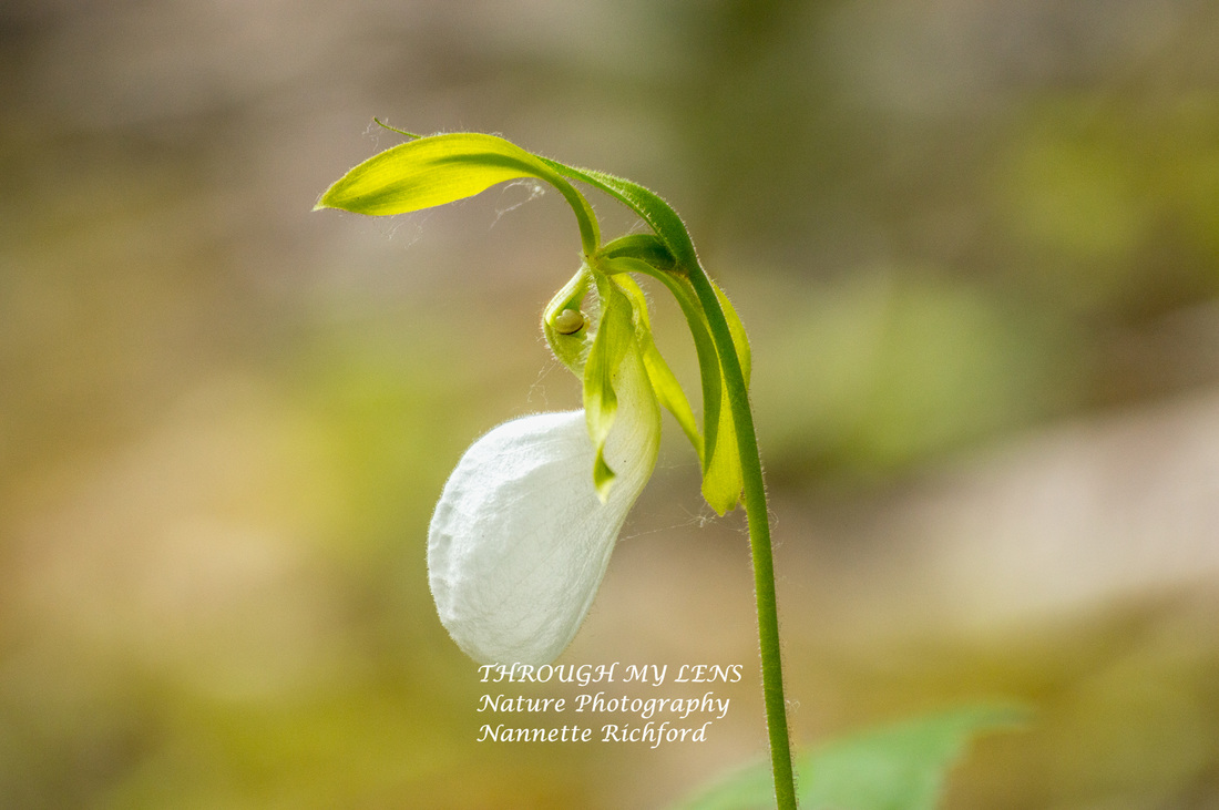 White Lady's Slipper
