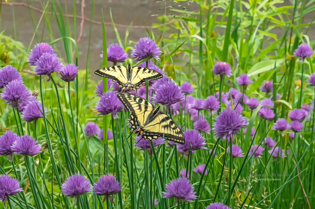 Swallowtail Butterflies on Chives