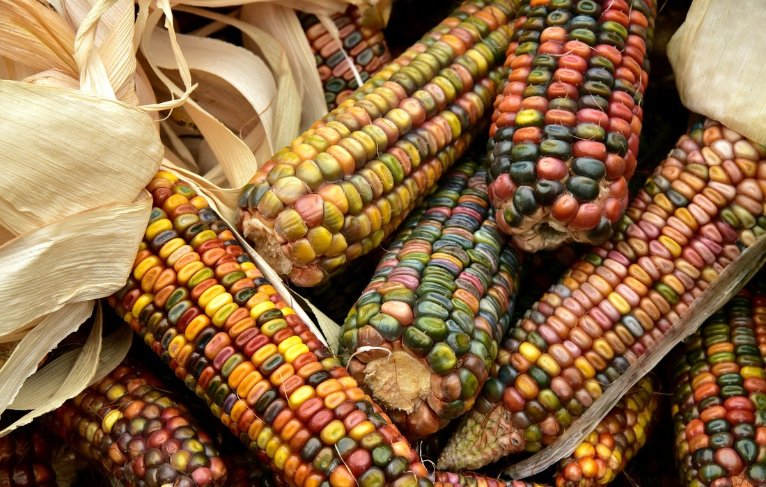 Ornamental corn Picture