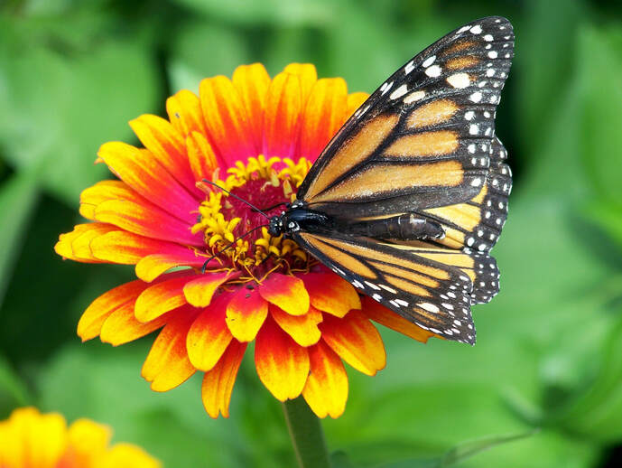 Monarch on Zinnia Picture