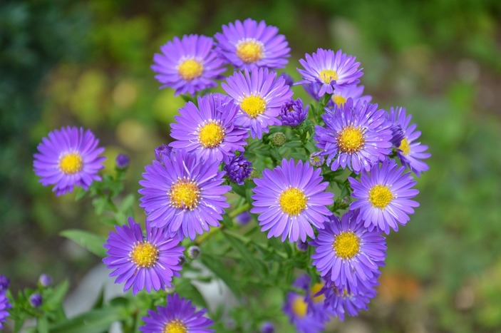 Asters Picture