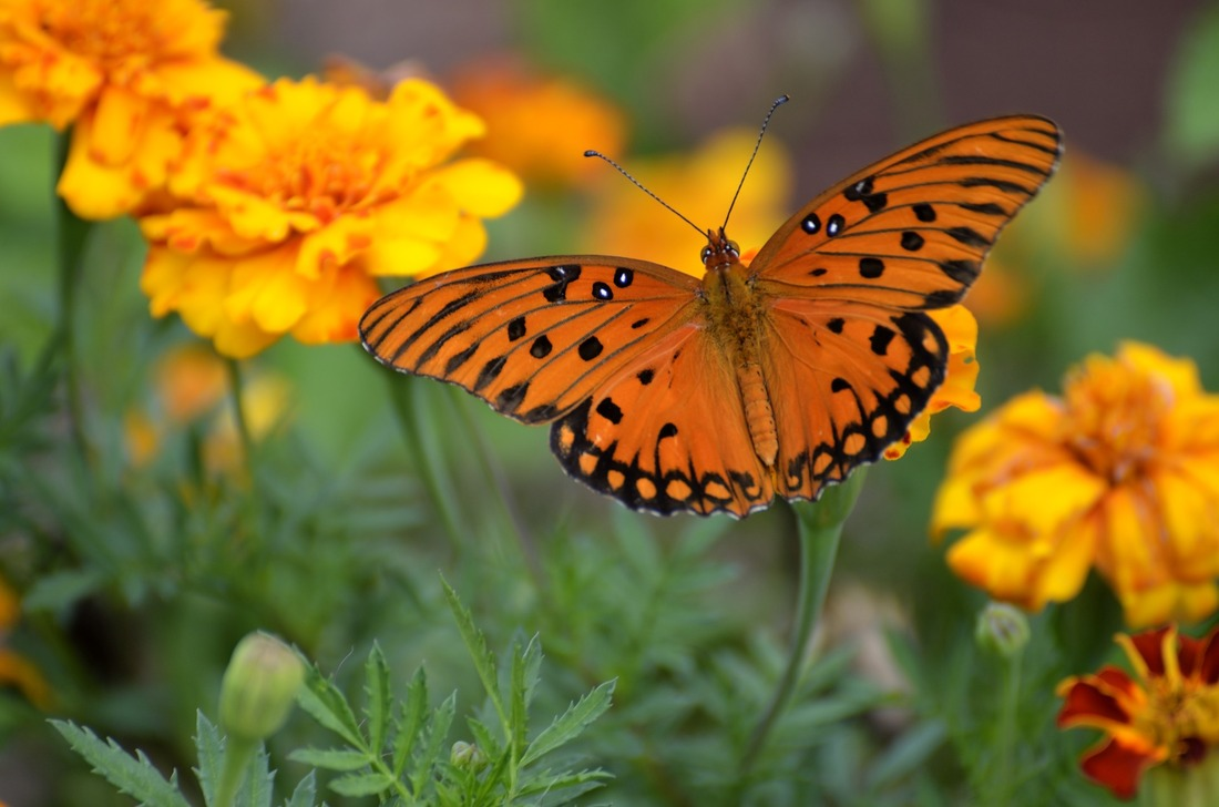 butterfly on marigolds