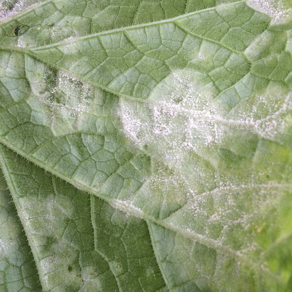 powdery mildew Picture