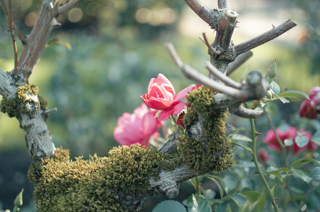 Roses and Moss